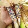 ข้าวโพดพลอย - Glass Gem Corn