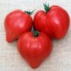 มะเขือเทศหัวใจ - PINK OXHEART Tomato