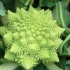 (Whole 1 Oz.) บล็อคโคลี่เจดีย์ - Romanesco Broccoli