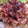 ผักสลัด รูบี้เรด - Ruby Red Lettuce