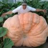 ฟักทองยักษ์ พันธุ์แอตแลนติก - Atlantic Giant Pumpkin