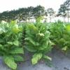 ยาสูบ พันธุ์เวอจิเนีย - Virginia Tobacco