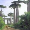 ต้นไม้ยักษ์(เบาบับ)แกรนด์ - Adansonia Grandidieri Baobab