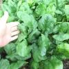 สปินิส ไวรอฟเลย์ - Viroflay Spinach