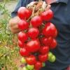 มะเขือเทศพันธุ์อะไลแคนที - Alicante Tomato