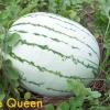 แตงโม พันธุ์ดิคซี่ควีน - Dixie Queen Watermelon