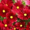 (Big Pack) ดาวกระจายสีแดง - Red Cosmos Flower
