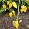 พริกฮาบาเนโร่ สีเหลือง - Lemon Habanero Pepper