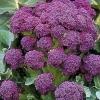 เบบี้บล็อคโคลี่สีม่วง - Purple Sprouting Broccoli