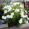 ดาวกระจายสีขาว - White Cosmos Flower