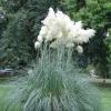 หญ้าขนไก่ สีขาว - White Pampas Grass