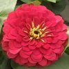 (Whole 1 Oz) ดอกบานชื่นสีแดง - Red Zinnia Flower