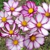 ดาวกระจาย พิโคที - Picotee Cosmos Flower