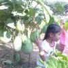 มะเขือยักษ์หยกภูพาน - Yok-Poo-Parn Giant Eggplant