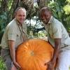 (Whole 1 oz) ฟักทองยักษ์ พันธุ์บิ๊กแม็กซ์ - Big Max Giant Pumpkin