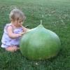 น้ำเต้ายักษ์ - Giant Bushel Gourd