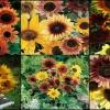 """ดอกทานตะวัน คละสี """"เรนโบว์ มิกซ์ 20 เมล็ด/ชุด"""