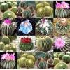 กระบองเพชรประดับ คละพันธุ์ - Finest Mixed Cactus Seeds