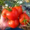 มะเขือเทศไซบีเรียน - Siberian Tomato