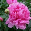 ดอกโบตั๋นสีชมพู ซองละ 5 เมล็ด