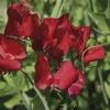"""ดอกสวีทพี สเปนเซอร์""""วินสตัน เชอร์ชิล"""" 5 เมล็ด/ชุด"""