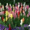 ดอกสแนปดราก้อน คละสี - Mixed Snapdragon Flower