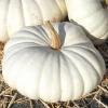 ฟักทองสีขาว บอร์ฟอร์ด - Flat White Boer Ford Pumpkin