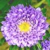 ดอกแอสเตอร์ - Aster Flower Mix