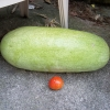 แตงโมชาร์ลิสตอน เกรย์ - CHARLESTON GREY Watermelon