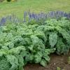 (Whole 1 Oz.) เคลใบหงิก - Vate Blue Curled Kale