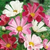 (Whole 1 Oz) ดาวกระจายซีเชล - Sea Shells Cosmos Flower