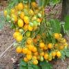 มะเขือเทศอิลดิ - Ildi Tomato