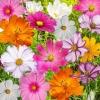 (Whole 1 LB) ดาวกระจายคละสี - Mixed Cosmos Flower