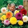 ดาเลียดินเนอร์เพลต(ดอกรักเร่) คละสี - Mix Dinner Plate Dahlia Flower