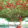 มะเขือเทศต้นอิตาเลี่ยน - Italian Tree Tomato