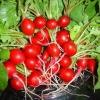 (Whole 1 Oz) เรดิชเชอรี่ - Cherry Belle Radish