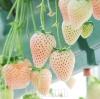 สตรอเบอรี่สีขาว - White Soul Strawberry