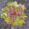 ผักสลัด ไพซ์เฮด - Prize Head Lettuce