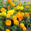 (Whole 1 Oz) ดาวเรืองคละสี - Mixed Marigold Flower