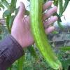 ถั่วพูยักษ์ - Giant Winged Bean