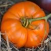 มะเขือเทศ อะมาน่า - Amana Orange Tomato