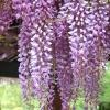 วิสทีเรียสีม่วง - Purple Wisteria