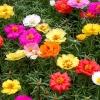ดอกแพรเซียงไฮ้ ดอกซ้อนคละสี - Portulaca Double Mix