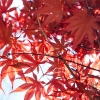 เมเปิลแดง ญี่ปุ่น - Red Japanese Maple Tree