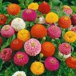 (Whole 1 Oz.) บานชื่นดอกซ้อน ลิลลี่พุท คละสี - Mixed Lilliput Zinnia Flower