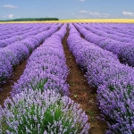 (Big Pack) ลาเวนเดอร์ - English Lavender