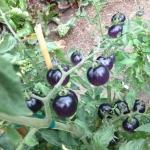 มะเขือเทศสีม่วง - Purple Tomato