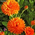 ดอกคาเลนดูล่า สีส้ม - Calendula Ball's Orange Flower