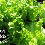 (Whole 1 Oz.) ผักสลัด แกรนด์เรฟพิด - Grand Rapids Lettuce