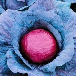 กะหล่ำปลีสีม่วง - Purple Cabbage